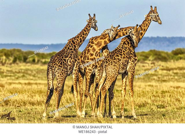 Giraffes on the plains, Masai Mara National Reserve, Kenya