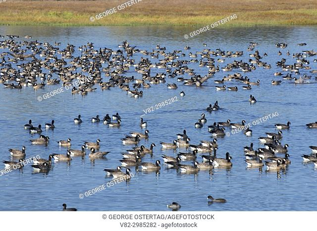 Canada geese (Branta canadensis) at Pintail Marsh, Ankeny National Wildlife Refuge, Oregon