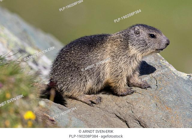 Alpine marmot (Marmota marmota) juvenile on rock in alpine pasture in summer, Hohe Tauern National Park, Carinthia, Austria