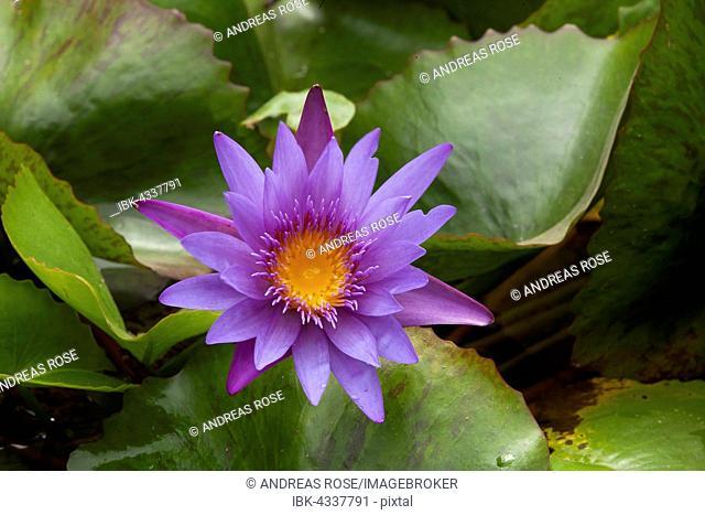 Blue Lotus (Nymphaea caerulea), Danang, Vietnam