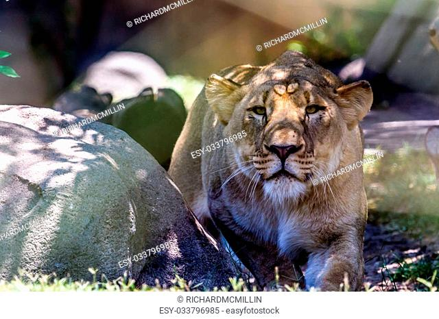 A Beautiful Female African Lioness (Panthera leo). Eyes are on the Photographer while taking the shot as though stalking him. Posed for hunting
