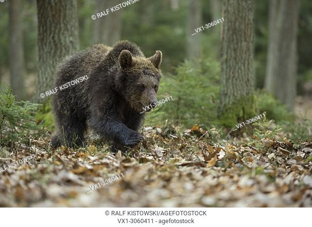 European Brown Bear ( Ursus arctos ), young cub, walks through a natural mixed forest, in its typical habitat, Europe