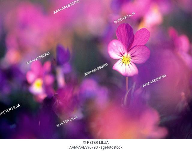 Wild Pansy (Viola tricolor), Vrango, Ostergotland, Sweden