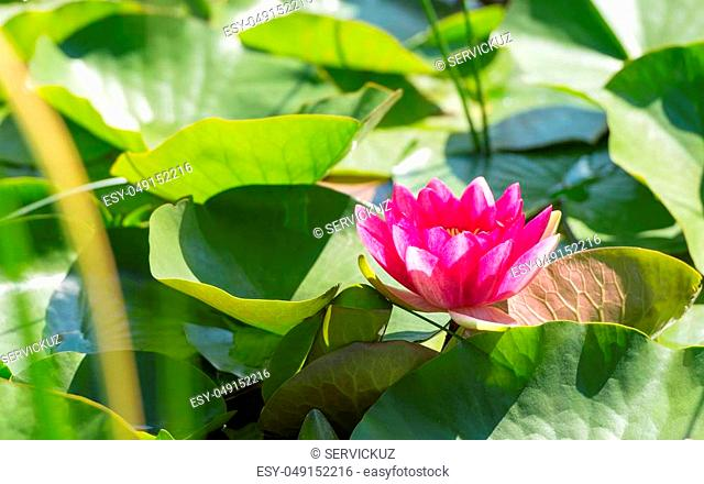 Magenta flower of water lily in sunlit dense foliage on surface of natural lake
