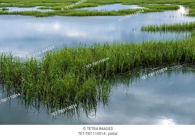 Grass in pond