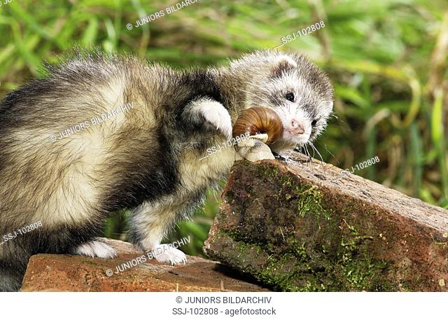 Domestic polecat gnawing at snail on bricks / Mustela putorius f furo