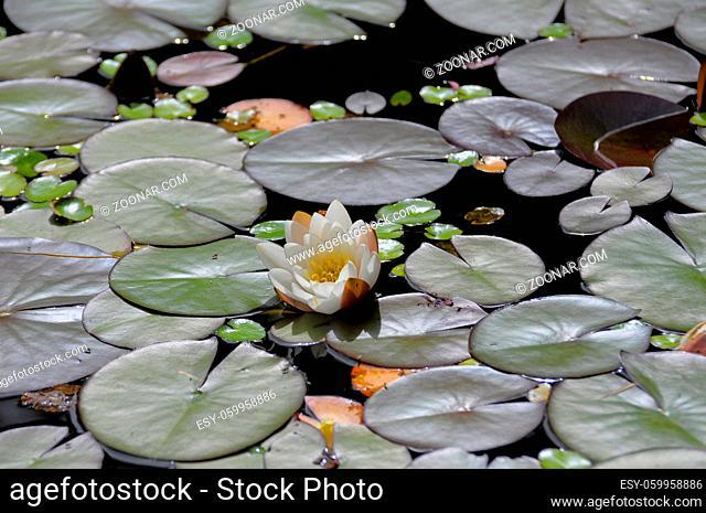 Gartenteich, Seerosen, Weiße Seerose (Nymphaea alba)