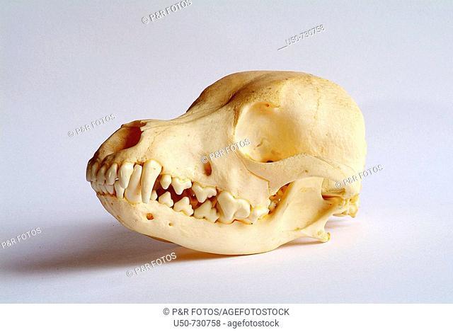 Dog skull anatomy, zoology