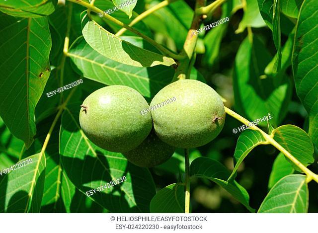 walnut in Brittany in France