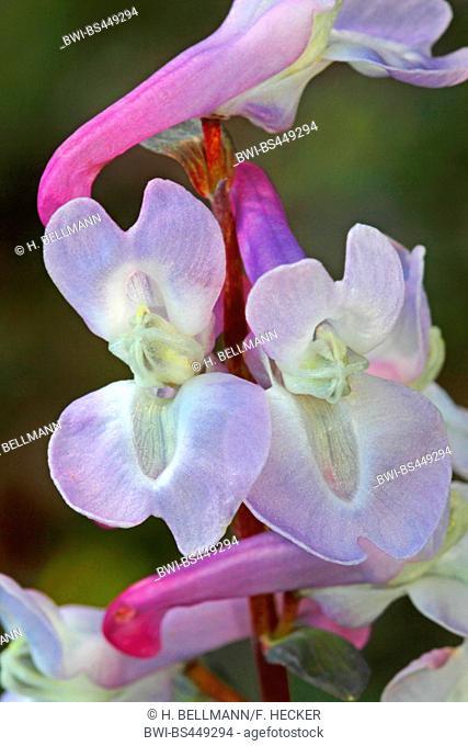bulbous corydalis, fumewort (Corydalis cava, Corydalis bulbosa), blooming violet, Germany