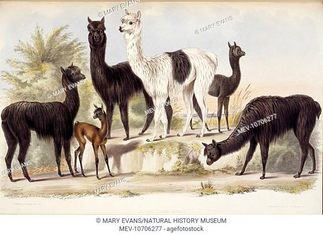 Alpaca. Llama Alpaca, 1884. Hand coloured lithograph of a drawing by Benjamin Waterhouse Hawkins from Gleanings from the Menagerie and Aviary at Knowsley Hall;...