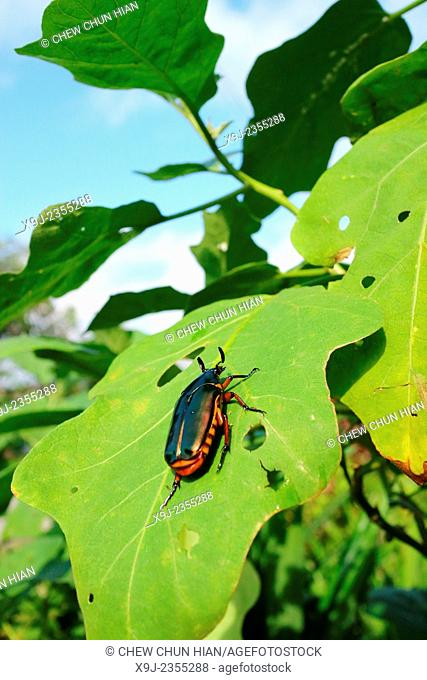 Beetle, blue color of Beetle, borneo