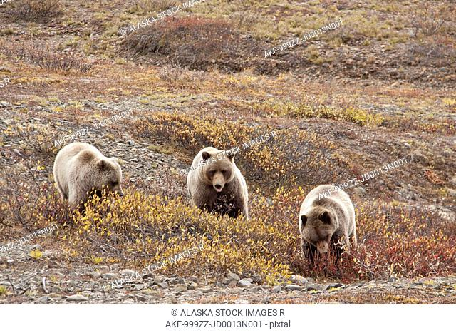 Sow and two three year old cubs feeding on berries near Toklat River, Denali National Park & Preserve, Interior Alaska, Autumn