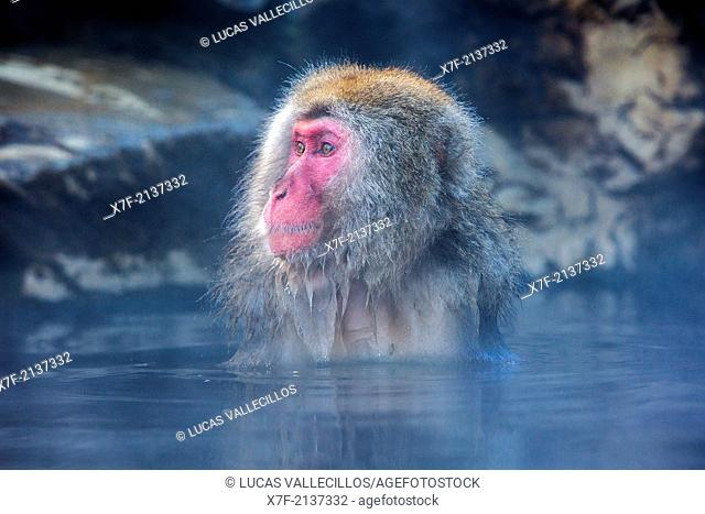Monkey in a natural onsen (hot spring), located in Jigokudani Monkey Park, Nagono prefecture,Japan