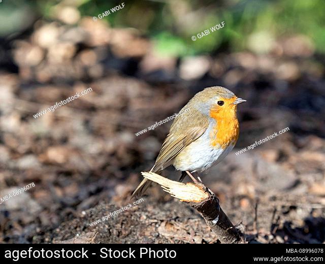 Robin, Erithacus rubecula, on a branch