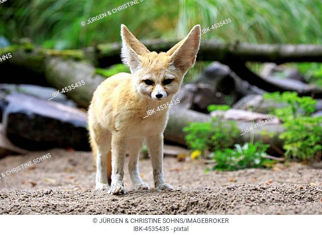 Fennec, fennec fox (Vulpes zerda), adult, watchful, captive, Occurrence North Africa