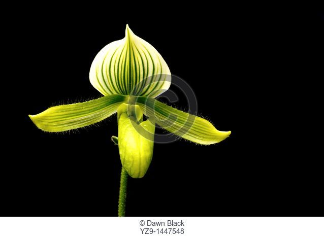 Lady's Slipper Orchid Orchidaceae Paphiopedium maudiae on black background