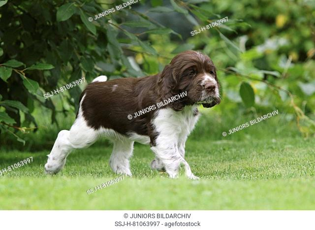 English Springer Spaniel, 7 weeks old puppy Athos on the lawn