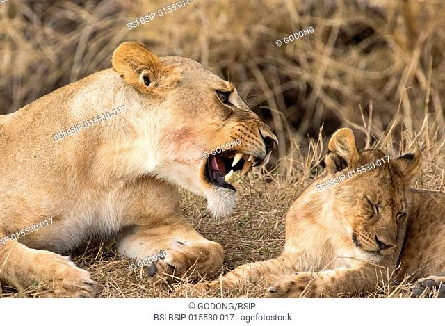 Serengeti National Park. Lioness and cub (Panthera leo). Tanzania