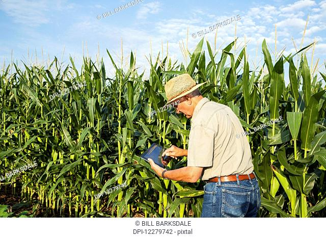 Crop Consultant uses tablet to record observations while checking field of corn in kernel filling stage; England, Arkansas, United States of America
