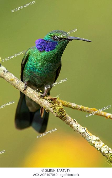 Green Violet-ear (Colibri thalassinus) perched on a branch in the mountains of Colombia, South America