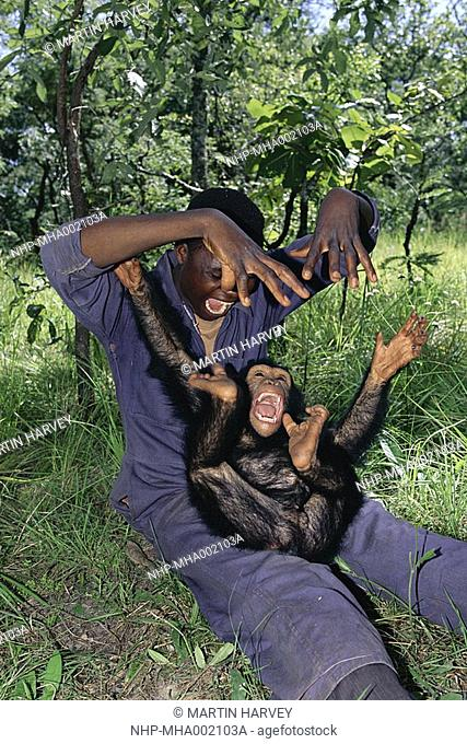 CHIMPANZEE young, playing Pan troglodytes with keeper, Dominik Yewa  Chimfunshi Sanctuary, Zambia