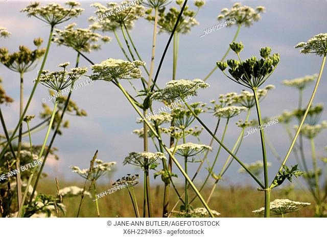 hedgerow and countryside wildflower - common hogweed a herbal flower