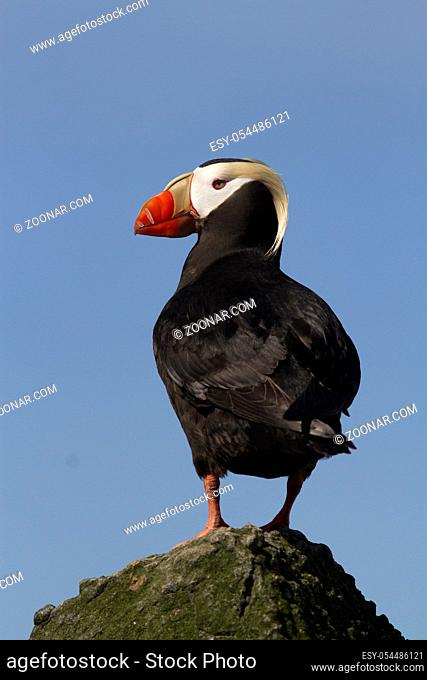 TUFTED PUFFIN standing at the top of a small rock near the colony on a summer day