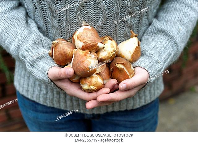A partial view of a woman's hands holding a bunch of tulip bulbs getting ready to plant in the fall