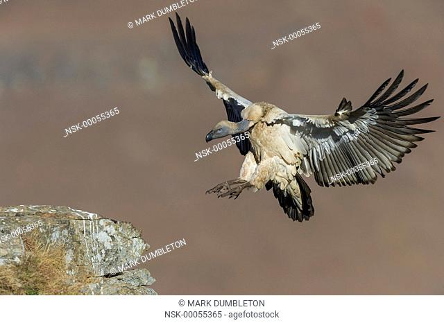 Cape Vulture (Gyps coprotheres) landing on mountain 