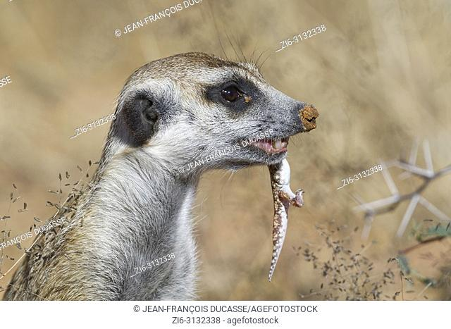 Meerkat (Suricata suricatta), adult male at the burrow, feeding on a gecko, alert, Kgalagadi Transfrontier Park, Northern Cape, South Africa, Africa