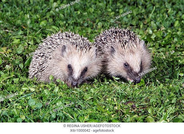 European Hedgehog Erinaceus europaeus 2 young animals in garden feeding
