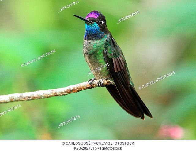 Rivoli's hummingbird (Eugenes fulgens), male, Monteverde Biological Reserve. Costa Rica