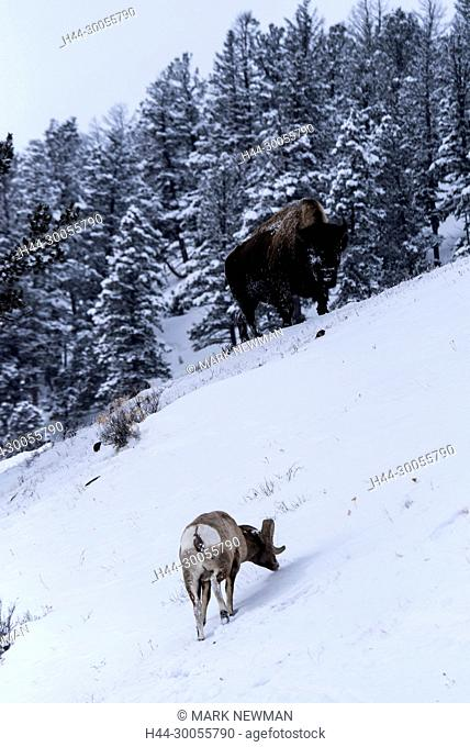 Bison and bighorn sheep in Yellowstone NP in winter