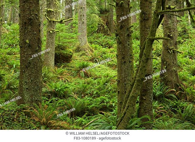 USA, Oregon, Clatsop County, Ecola State Park, sitka spruce forest Picea sitchensis with ferns covering ground