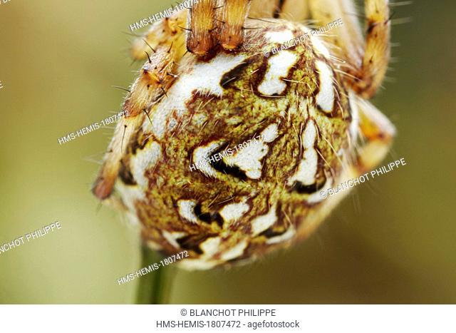 France, Morbihan, Araneae, Araneidae, Orb Weaver Spider (Neoscona adianta), Closeup of abdomen