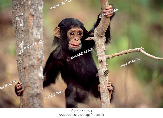 Young Chimpanzee climbing 'Furaha' (Pan troglodytes schweinfurtheii) Gombe National Park, Tanzania 2003, (determination, expression)