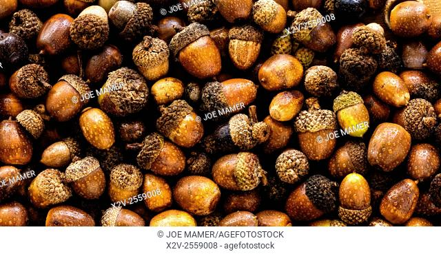 Collection of acorns from a variety of oak trees