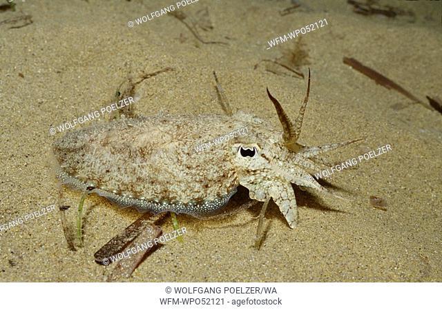 Cuttlefish on Seafloor, Sepia officinalis, Istria, Adriatic Sea, Croatia