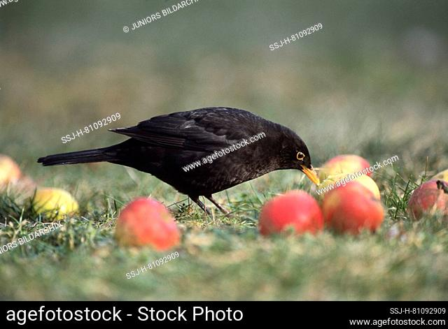 Eurasian Blackbird (Turdus merula). Adult male eating an apple. Germany