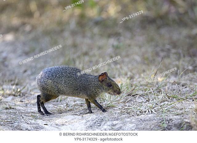 Azaraâ. . s Aguti (Dasyprocta azarae), adult walking on ground, Pantanal, Mato Grosso, Brazil