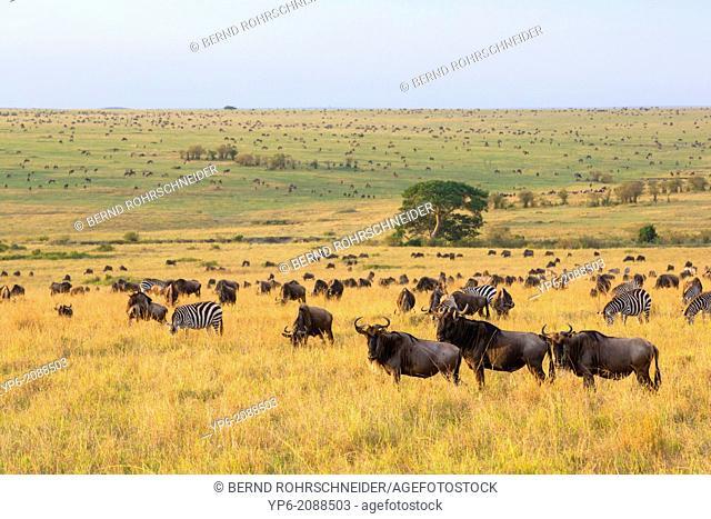 herd of White-bearded Wildebeest (Connochaetes taurinus) and Plains Zebras (Equus quagga) in savannah, Masai Mara, Kenya