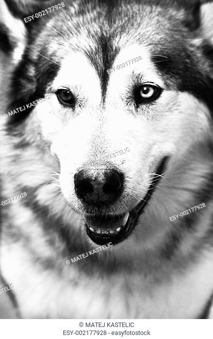 Greenlandic Husky Dog Stock Photos And Images Age Fotostock