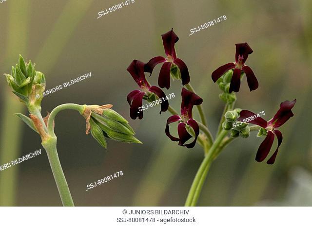 DEU, 2009: Umckaloabo, South African Geranium (Pelargonium sidoides), flowering