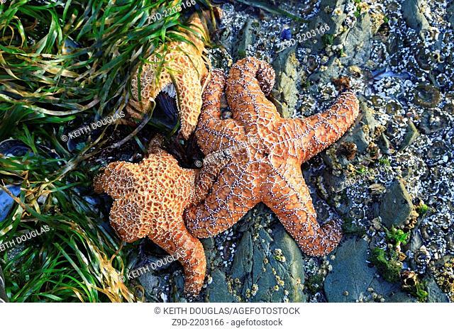 Ocre seastar starfish, Chesterman Beach, Tofino, Vancouver Island, BC