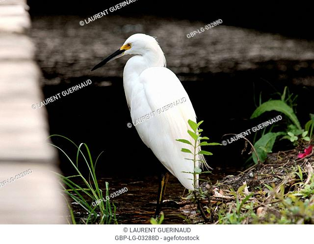 Ave, Heron-white, Pantanal, Mato Grosso do Sul, Brazil