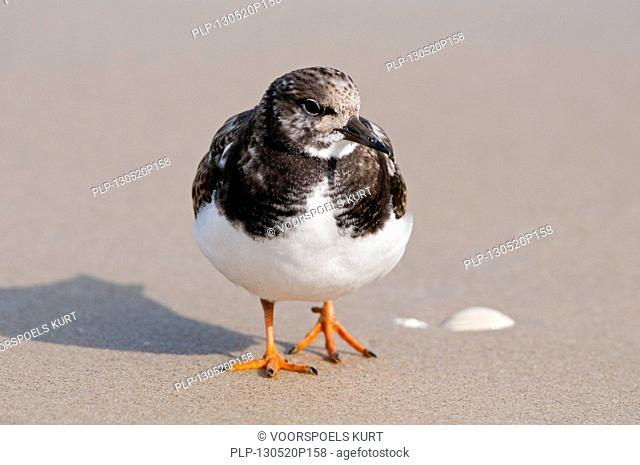 Ruddy Turnstone (Arenaria interpres) on beach along the North Sea coast