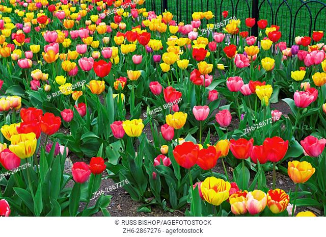 Tulips at the Boston Public Garden, Boston, Massachusetts USA