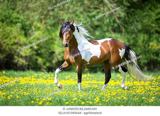 Paso Fino. Skewbald stallion walking at a toelt on a meadow. Germany