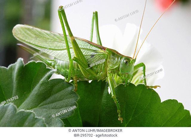 Great green bush-cricket (Tettigonia viridissima)